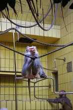 Male Hamadryas Baboon Sitting On Metal Bar With Foot On Rope