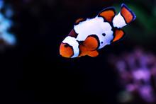 Snow Onyx Clownfish - (Amphrip...