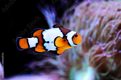 Photo Snow Onyx Clownfish - (Amphriprion ocellaris x Amphriprion percula)