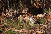 Tufted Titmouse In Leaves