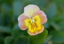 Yellow Brown Pansy Flower