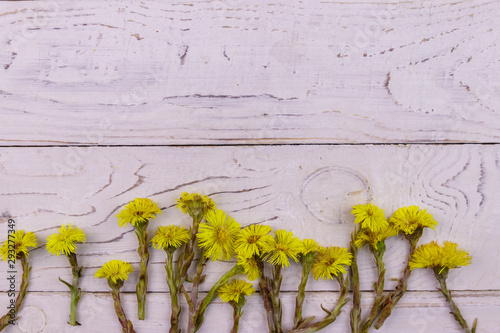 Fényképezés Coltsfoot (Tussilago farfara) flowers on white wooden background