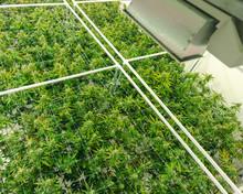 Top View Of Marijuana Plant Ca...