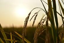 Mature Harvest Of Golden Rice ...