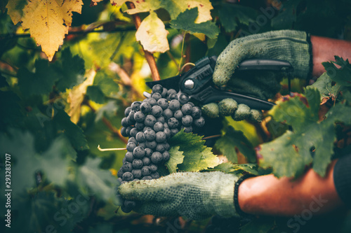 Fotografija Grapes in hand, harvest in autumn.