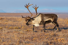 Reindeer (Rangifer Tarandus) I...