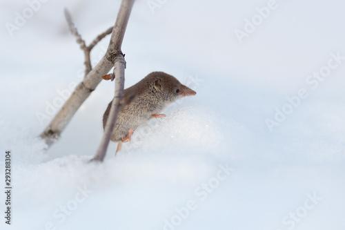 Fotografie, Obraz Eurasian least shrew (Sorex minutissimus), also called the lesser pygmy shrew