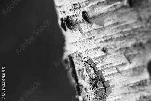 Bark of a birch tree closeup, black and white Fototapeta