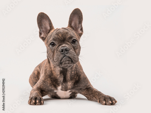 Keuken foto achterwand Franse bulldog Cute french bulldog seen from the front lying on a grey background