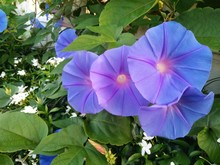 Blue Morning Glory Growing On ...