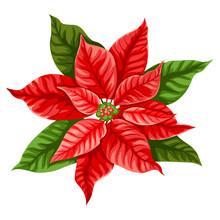 Illustration Of Poinsettia Flower.