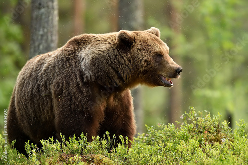 European brown bear (Ursus arctos) in forest