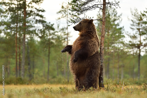 Obraz brown bear standing and scratching itself against a tree - fototapety do salonu