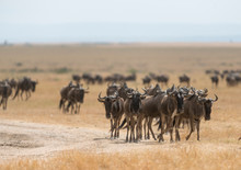 Wildebeest Sen During The Great Migration   At Masai Mara Game Reserve,Africa