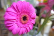 Leinwanddruck Bild - Macro view of hot pink dahlia chrysanthemum flower bouquet in full blossom