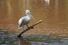 A Dalmatian Pelican Resting On A Wooden Tree Log.
