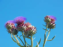 Beautiful Group Of Thistle Flo...