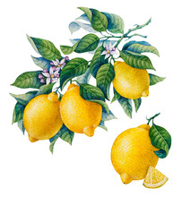 Botanical Lemon. Watercolor. C...