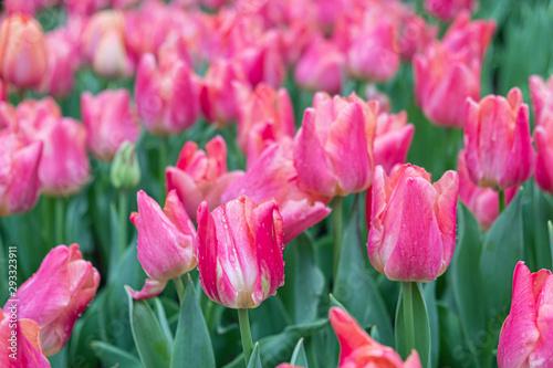 Foto auf AluDibond Rosa Close-up of pink tulips in the garden of pink tulips , pink tulips for colorful background.