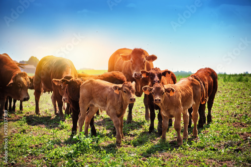 Fotografie, Tablou Cute little calfs grazing with cows