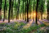 Fototapeta Las - Bluebell forest path at sunrise