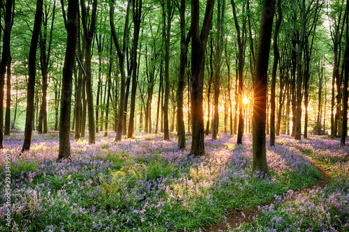 Fototapeta Bluebell forest path at sunrise obraz