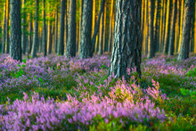 Sunny Day. Blooming Heather. Beautiful Lawn In The Forest.