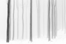 Black And White Forest In Fog And Icy Grip On Hard Winter.