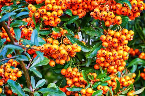 Ripe orange fruits of the sorbus aria in autumn. Wallpaper Mural