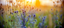 Healing Herbs. Eryngium Planum...