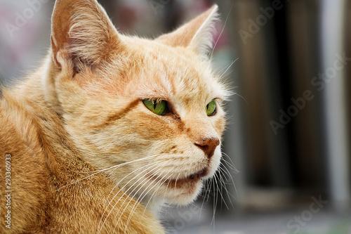 Fototapeta elinos, animal, mascota, gatita, felíno, pelaje, domestica, cuca, ocular, retrat