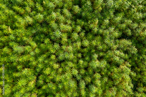 Aerial top view of a beautiful marijuana CBD hemp field