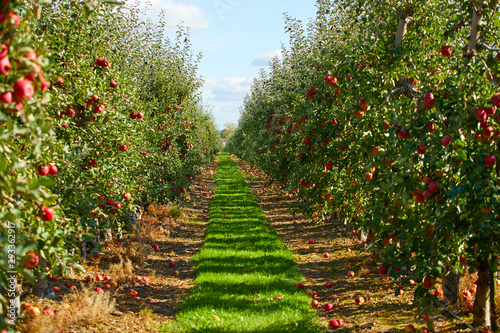 picture of a Ripe Apples in Orchard ready for harvesting,Morning shot Fototapet