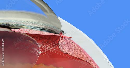 Obraz na plátně  Eye anatomy 12