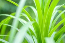 Bright Green Blades Of Grass C...