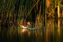 Eurasian Woodcock On Lake