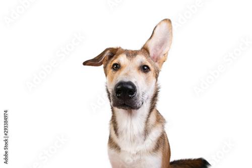 Fotografia Studio shot pf a happy adult large mixed breed golden color dog sitting with a s