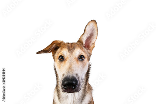 Studio shot pf a happy adult large mixed breed golden color dog sitting with a s Canvas Print
