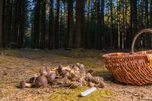 Many Chestnuts Mushrooms Lying...
