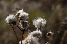 Dry And Fluffy Thorn In The Field