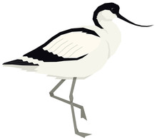 Pied Avocet Bird Vector Illustration Isolated Object