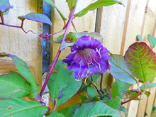 Cobaea Scandens (the Cup-and-s...