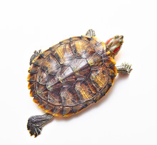 Red-eared Turtle, Trachemys Scripta On White Isolated Background. Yellow-bellied Water Turtle. Close Up. The View From The Top.