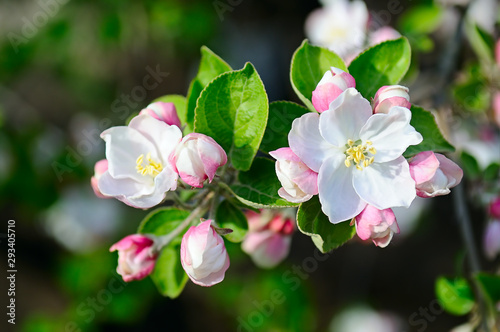 Fotografie, Obraz Apple tree with spring flowers on a natural background.