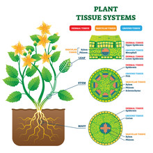 Plant Tissue Systems Vector Il...