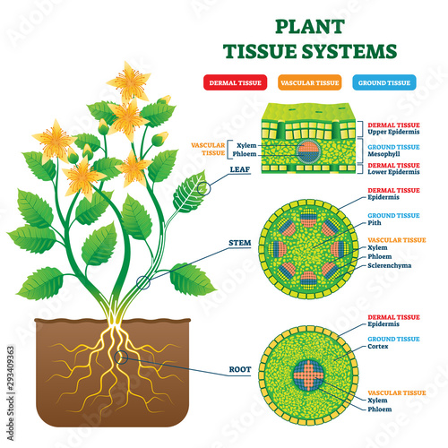 Plant Tissue Systems vector illustration. Labeled biology structure scheme.