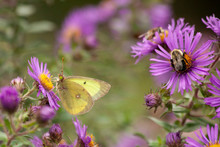 A Yellow Butterfly And A Bumbl...