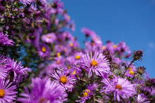 Closeup Of New England Aster Flowers With A Deep Blue Sky In The Background.