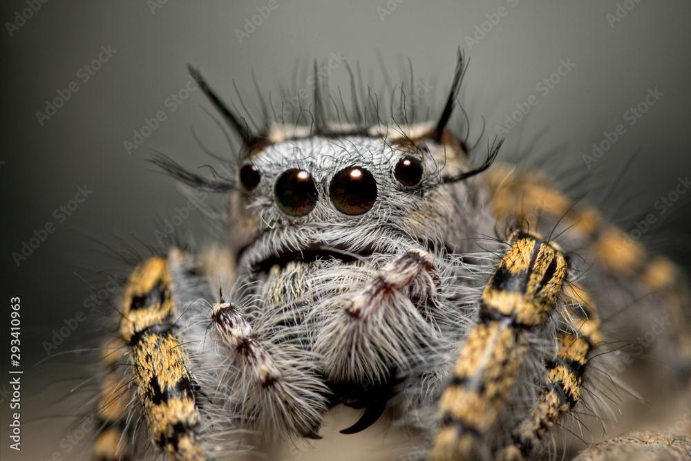 Fototapeta Closeup of a female Phidippus mystaceus jumping spider