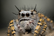 Closeup Of A Female Phidippus Mystaceus Jumping Spider